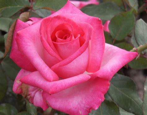 signature rose hybrid tea rose pink rose palatine roses
