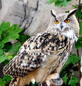pictures of owls for owl the animals kingdom