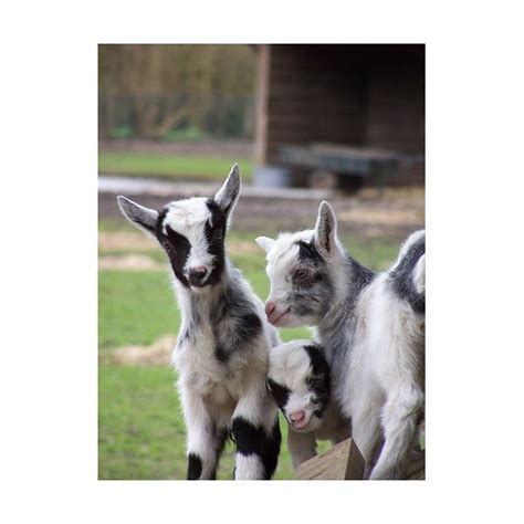 how to raise goats in your backyard getting prepared for raising goats in your back yard how to raise your own goats