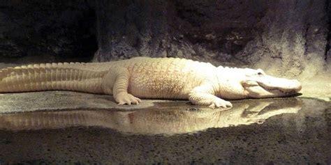Jerapah Khusus Hitam inilah hewan hewan yang jarang terlihat manusia