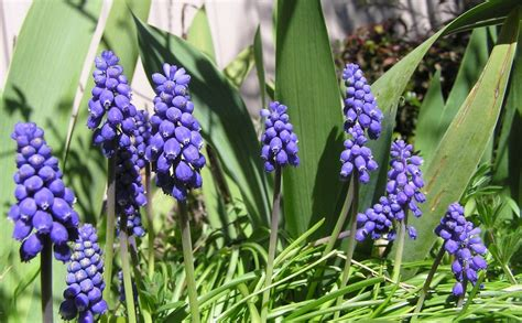 coltivazione fiori muscari coltivazione