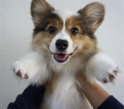 where to buy corgi puppies best 25 corgis ideas on