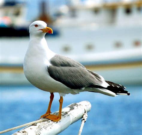gabbiano uccelli il riposo gabbiano livingston foto immagini animali