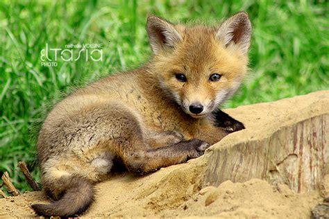 cute baby fox by eltasia on deviantart