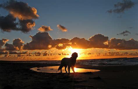 sunset golden retrievers quot my golden retriever ditte at the at sunset denmark kattegat odsherred quot by