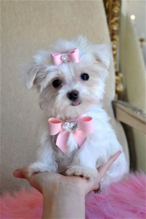 teacup maltese puppies for sale 300 teacup size maltese puppies for sale pets for sale in the uk