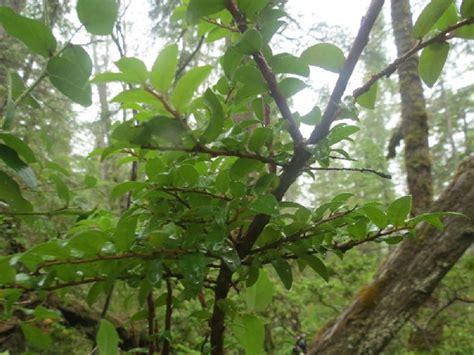 black huckleberry pacific northwest gohikingca