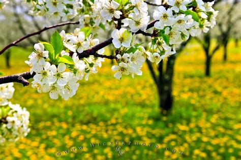 what is spring spring flowering tree photo information