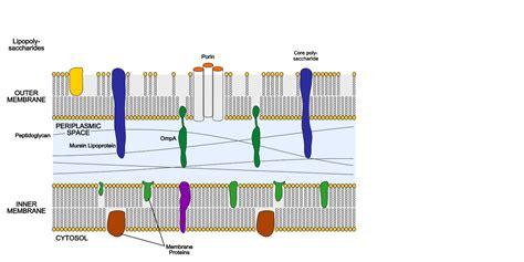 gram negative outer membrane biology libretexts