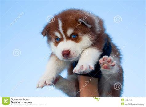 husky puppy with blue blue eyed husky puppy stock photo image 19464990