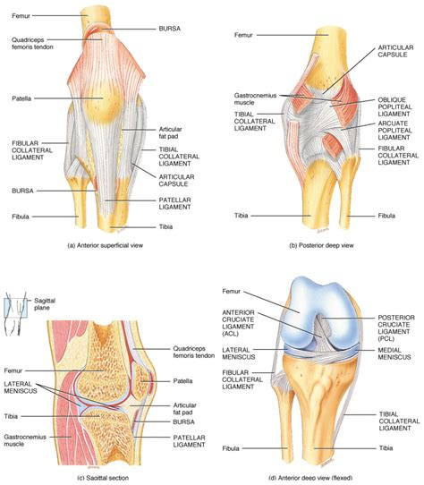 tendons in the knee diagram knee anatomy ligaments and tendons choice image how to