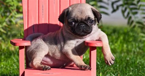 pug puppies price range guide to pugs for sale in houston