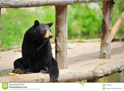 black bear sitting stock photo image  omega black