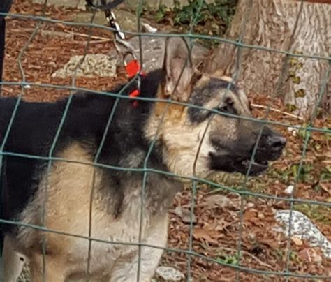 adoption nj rescue german shepherds new jersey dogs our friends photo