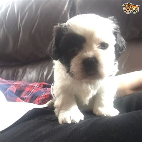 shih tzu breeders island shih tzu puppies only 1 left now canvey island essex pets4homes
