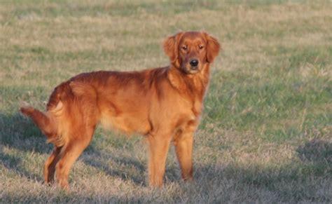 golden retriever rescue ireland golden puppy for sale in usa golden retriever breeder info center