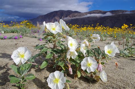 wildflowers anza borrego mid march may be the sweet spot for spectacular