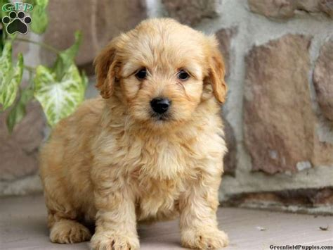 mini doodle breeders in pa miniature goldendoodle puppy for sale from