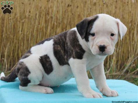 american bulldog puppies for sale in florida 25 best ideas about american bulldog puppies on american bulldog