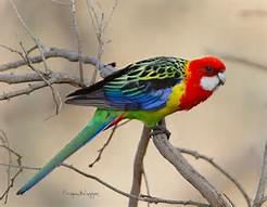 Image result for Australian birds