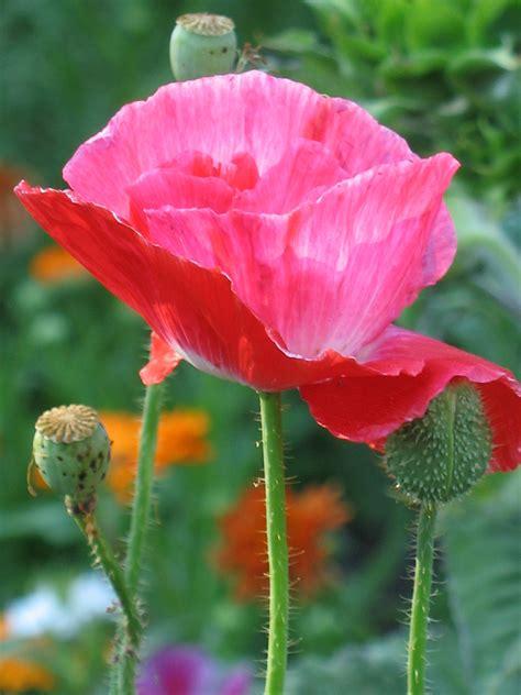 il papavero fiore papavero garden it