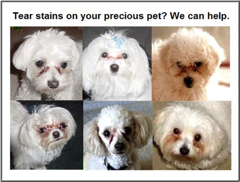 puppy tear stains tear stains how to help your pet get a beautiful clean