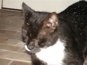 gallery for gt ringworms on cats
