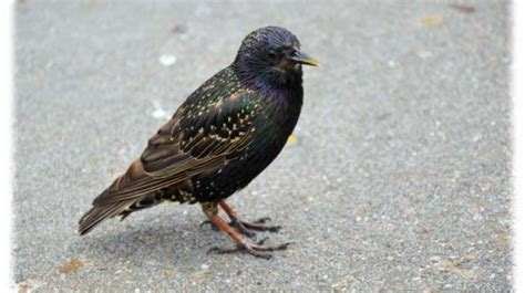 city to discourage starlings