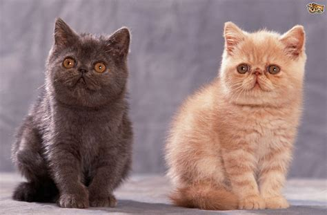 nicest breeds 10 of the friendliest cat breeds on the planet pets4homes