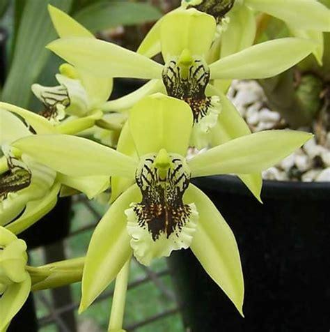 Harga Orchid Florist by Coelogyne Pandurata Anggrek Hitam Qmono S Flower