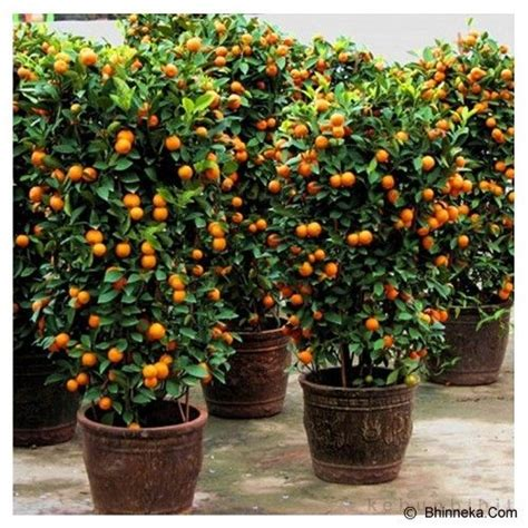 Bibit Tanaman Orange Siklam Cactus 457 best bonsai fruit images on
