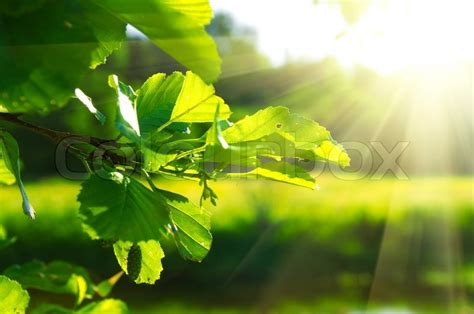 clean green leaf highlighted by sun shallow focus stock photo colourbox