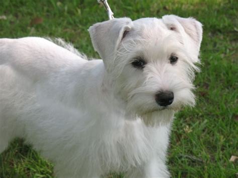 white schnauzer puppy hello schnauzer puppy past puppies
