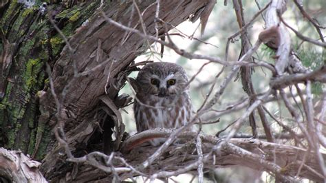 young owl in boulder mountain park colorado by jonathan
