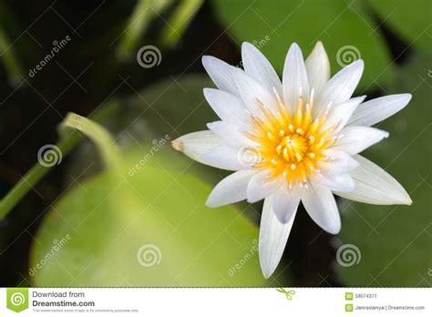 white lotus flower stock photo image 58074371