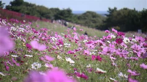 fiori prato prato di fiori hitachi kaihin park giappone rf clip
