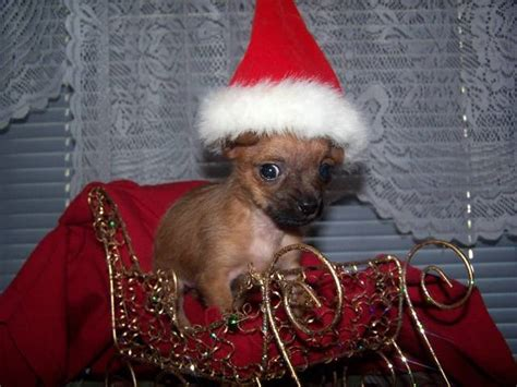 dogs for adoption in ky chorkie puppies for adoption quotes