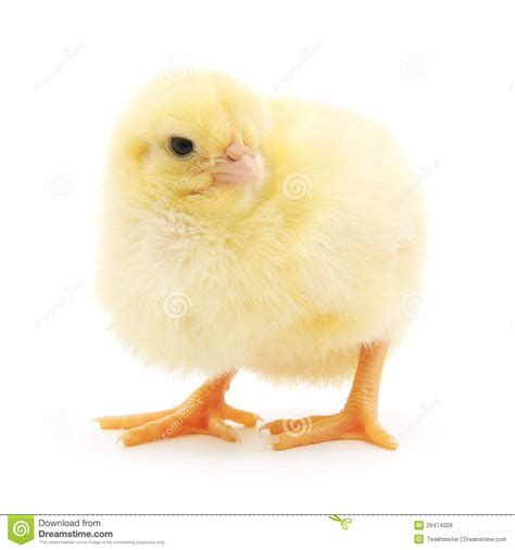 Small Chicken by Small Chicken Royalty Free Stock Images Image 29474009