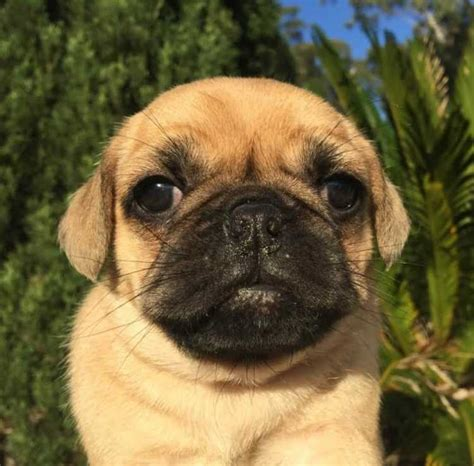 pug puppies sydney puggle puppies for sale sydney dogs puppies pets