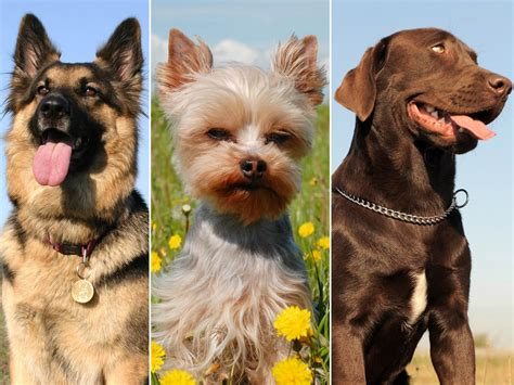 top dog breeds which breed is america s top dog of 2012 today com