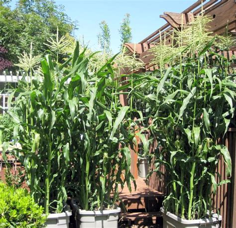 Gardening Forum by Can Corn Be Grown In Containers Container Gardening
