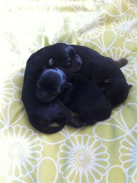 yorkie poo puppies for sale in kent yorkie poo faversham kent pets4homes