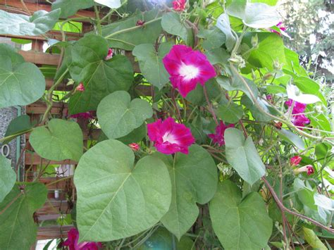 what is a climbing plant climbing plants ourrosserave