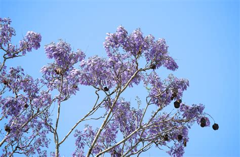 two free photos of purple jacaranda in front of a blue sky