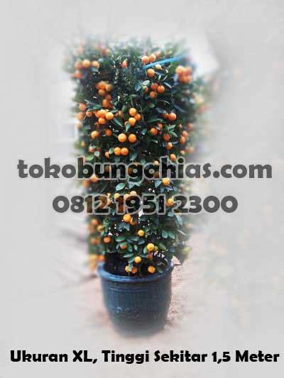 Anggrek Bulan Artificial Impor pohon jeruk imlek by tokobungahias