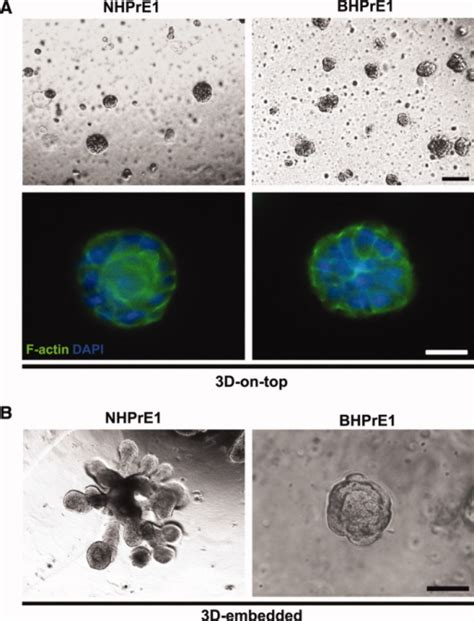 pattern formation cell culture three dimensional 3d culture of nhpre1 and bhpre1 cel