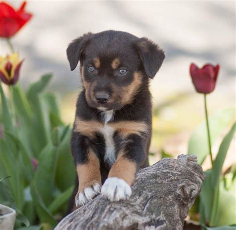 rottweiler puppies illinois rottweiler mix puppies for sale in illinois dogs in our photo