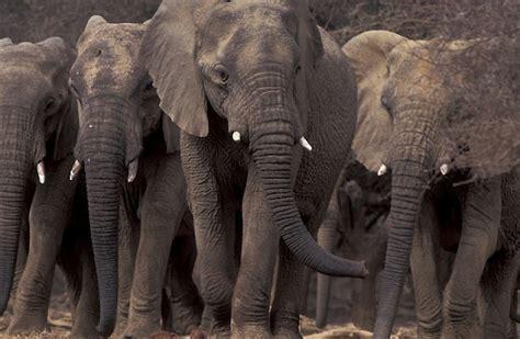 imagenes de animales que migran 191 por qu 233 migran los animales por qu 201 c 211 mo y d 211 nde
