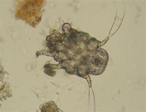 follow the piper ear mites