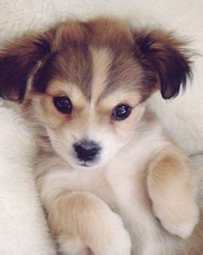 labsky puppies for sale 28 best labsky images on husky mix labs and